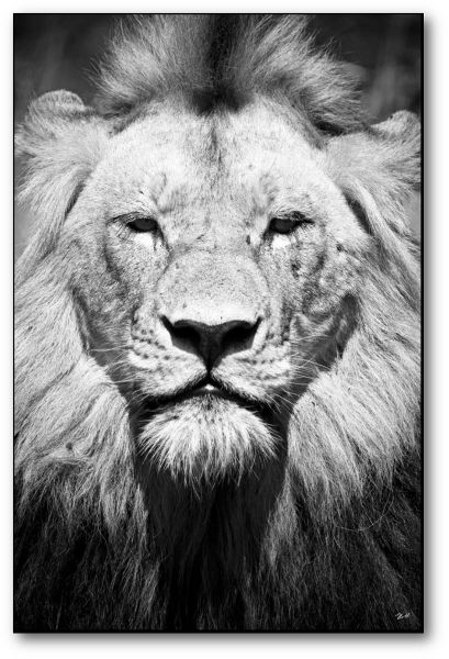 "Creative Nature Fotodruck ""Lion Close-up"""