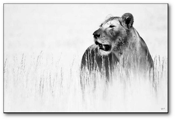 "Creative Nature Fotodruck ""Lioness"""